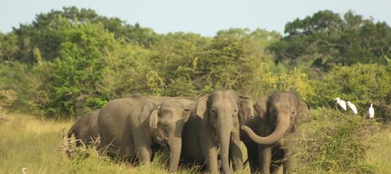 Yala, elephants, Sri Lanka, Wildlife
