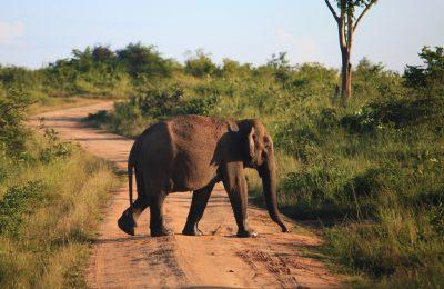 Udawalawa National Park, Wild life, Elephant